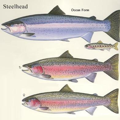 Steelhead Vs Salmon Nutritional Value Nutrition Ftempo